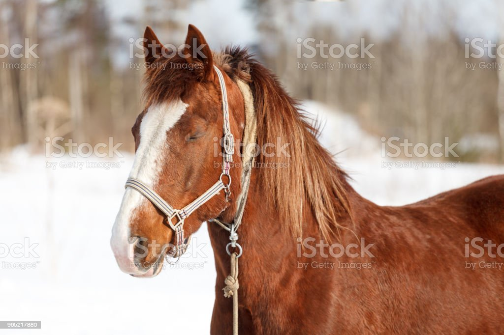 beautiful brown horse close-up of winter in nature royalty-free stock photo