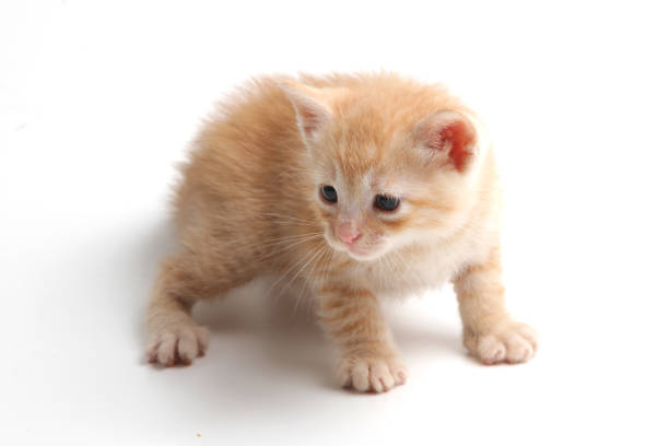 Beautiful brown kitten on a white background picture id1163317377?b=1&k=6&m=1163317377&s=612x612&w=0&h=xxqjpj17kisg6h7daoqo264vqypntkvqdcmmsxorfi8=