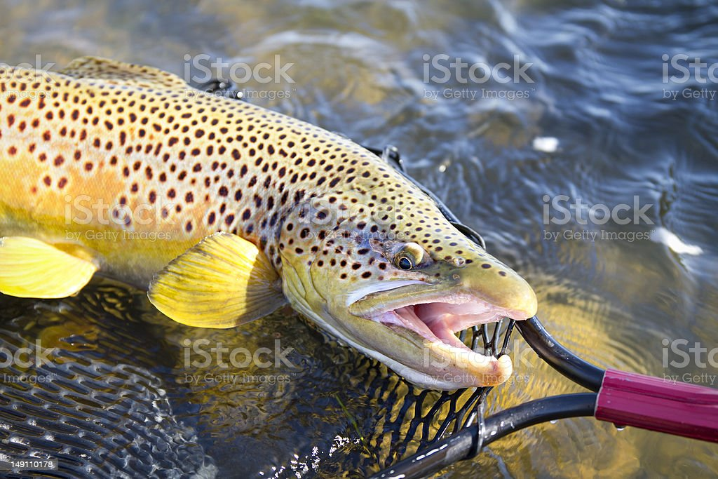 Beautiful Brown Trout in Net stock photo