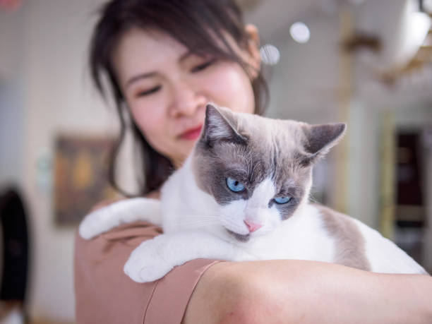 Beautiful brown white Ragdoll Cat lying in woman's shoulder and looking aside, focused on cat's eyes. stock photo
