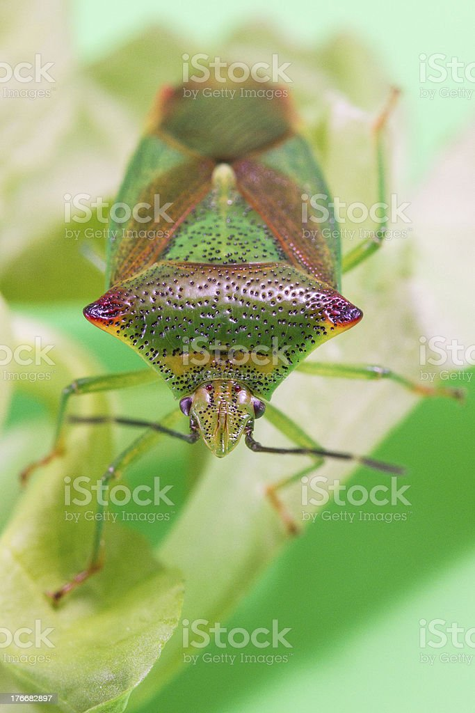 Beautiful bug royalty-free stock photo