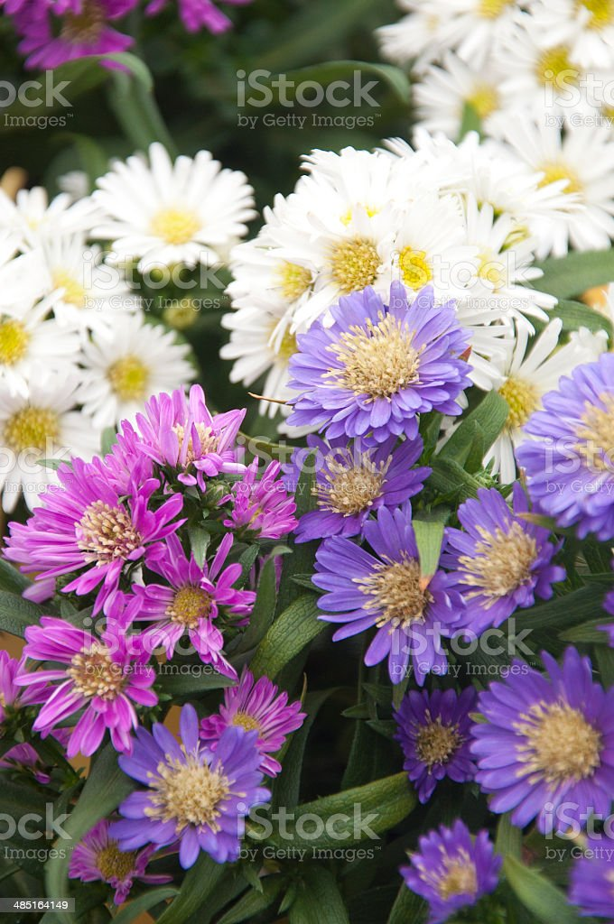 Beautiful bunch of Asters stock photo