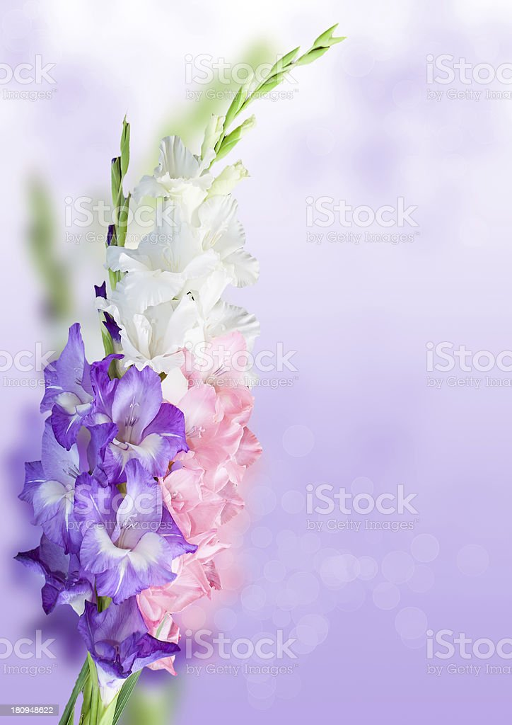 Beautiful bunch of gladioli. royalty-free stock photo