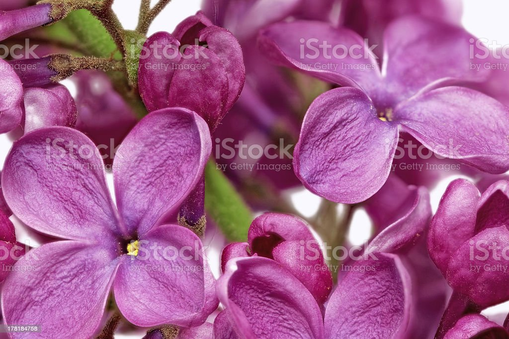 Beautiful Bunch of Lilac close-up royalty-free stock photo