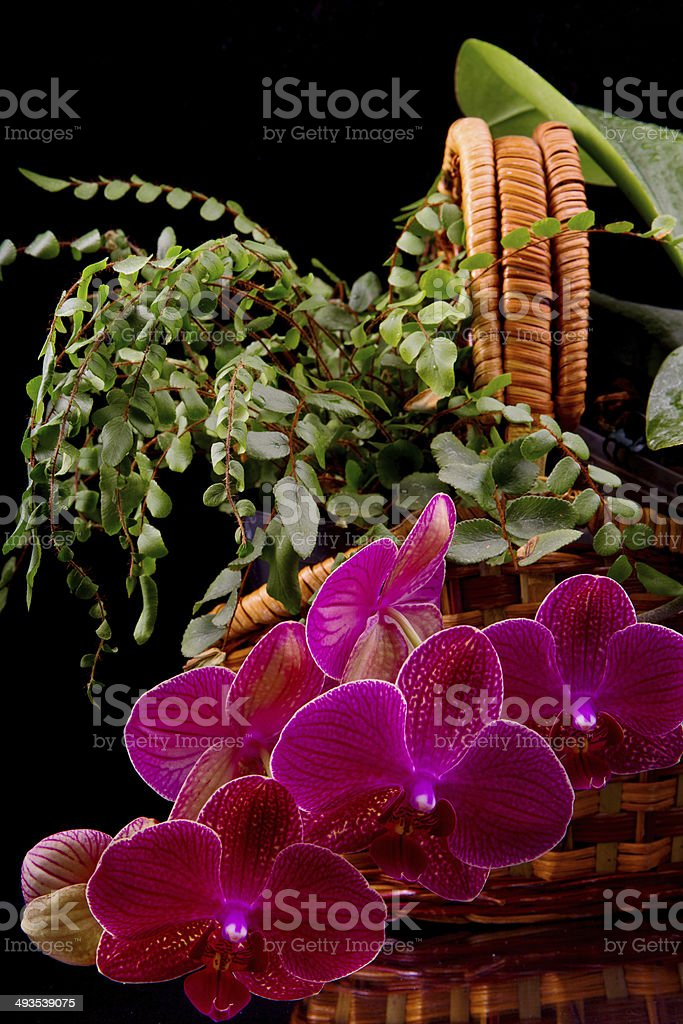 beautiful burgundy orchid in a wicker basket stock photo