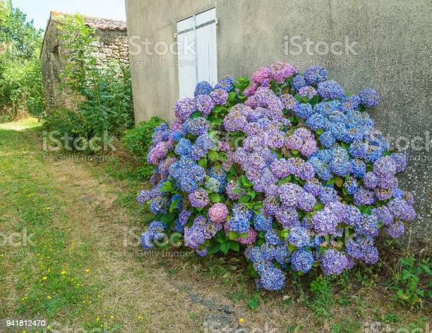 Beautiful bush of blue hydrangea picture id941812470?b=1&k=6&m=941812470&s=612x612&h=beo6 izqv1b0aolsuknm6ilq3n2blvb9ukwxqcf1osi=