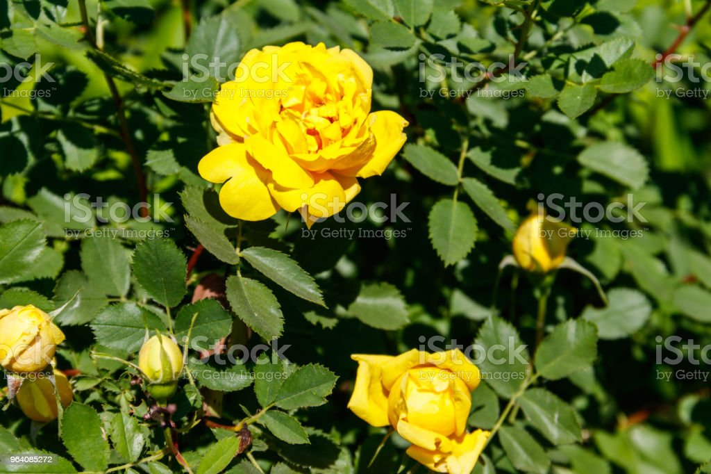 Beautiful bush of yellow roses in the garden - Royalty-free Aromatherapy Stock Photo