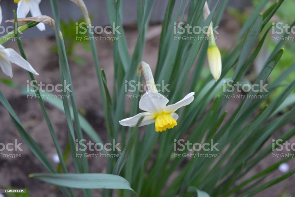 Beautiful Bushes Of Spring Daffodils Yellow Flower Of Narcissus On