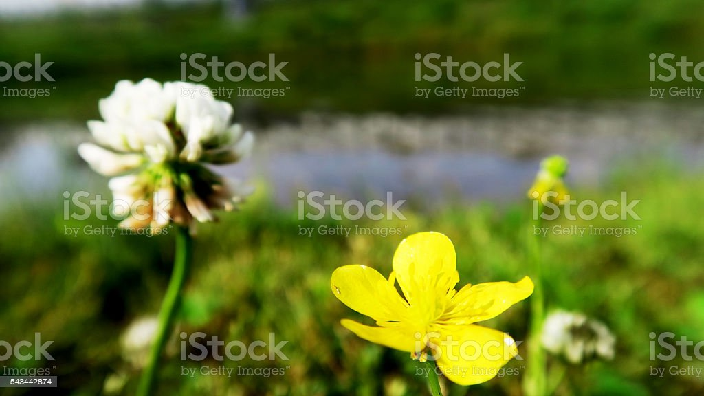 beautiful buttercup & daisy lion with pond in background stock photo
