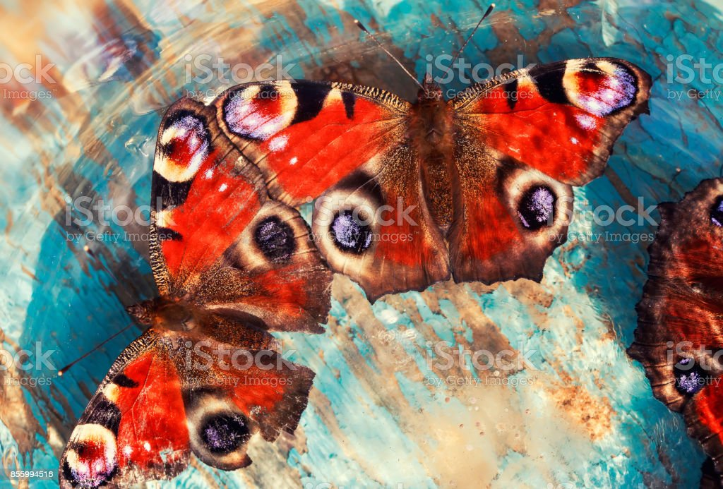 beautiful butterflies of peacock eye sitting on a wooden blue painted surface in the rays and the glare of the sun stock photo