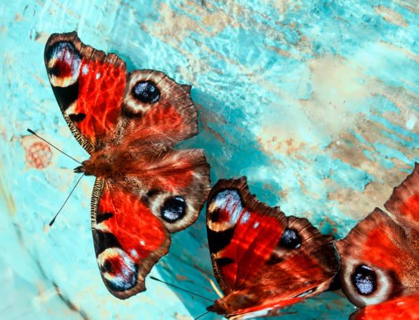 Beautiful butterflies of peacock eye sitting on a wooden blue painted picture id855994526?b=1&k=6&m=855994526&s=612x612&w=0&h=25oc57qqcastffedl8h5ge4kkzedlaikulzsqtvsi5e=