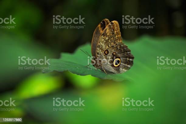 Photo of Beautiful butterfly Blue Morpho, Morpho peleides, in habitat, with dark forest, green vegetation, Costa Rica