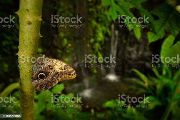 Photo of Beautiful butterfly Blue Morpho, Morpho peleides, in habitat, with dark forest and waterfall, Costa Rica