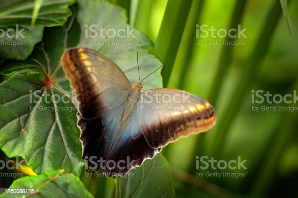 Photo of Beautiful butterfly Blue Morpho, Morpho peleides, with dark forest, green vegetation, Costa Rica. Insect on green leaves in the tropical forest.