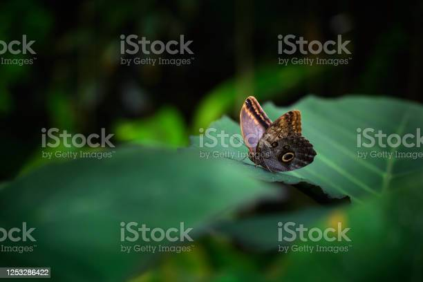 Photo of Beautiful butterfly Blue Morpho, Morpho peleides, with dark forest, green vegetation, Costa Rica. Butterfly sitting on the green leaves in the tropic forest. Insect in the nature habitat.