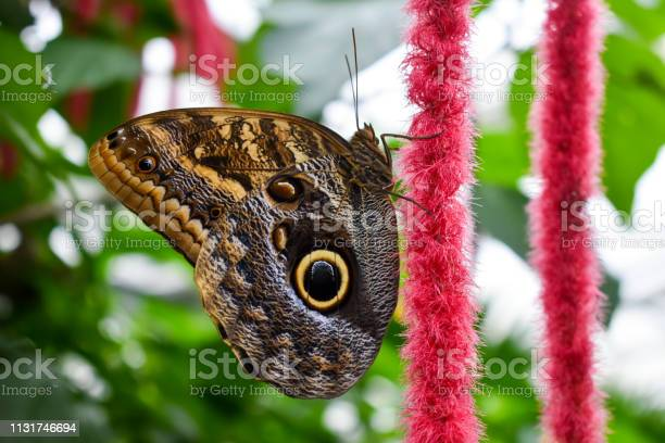 Photo of Beautiful butterfly Blue Morpho