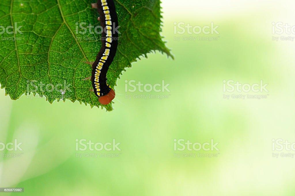 beautiful butterfly caterpillar  on leaf zbiór zdjęć royalty-free