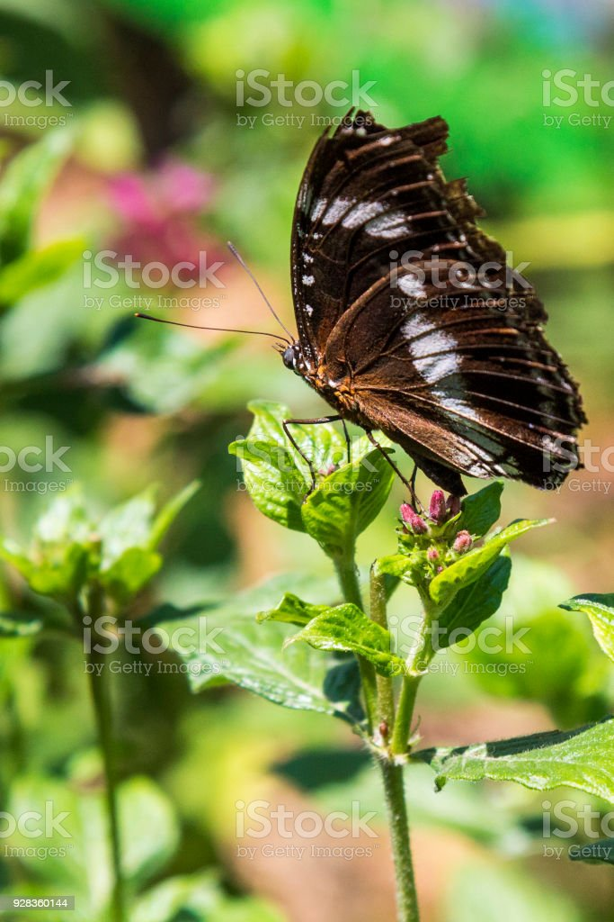 Beautiful butterfly closeup feeding on pink flowers in a summer garden. Varied Eggfly (Common Eggfly), Hypolimnas bolina. stock photo