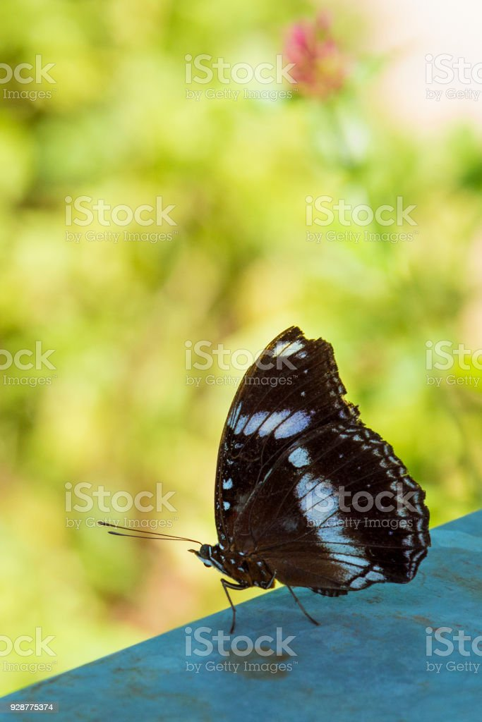 Beautiful butterfly closeup, resting on a railing ready for take-off in a summer garden. stock photo