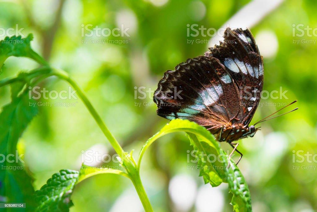 Beautiful butterfly closeup. Varied Eggfly (Common Eggfly), Hypolimnas bolina. stock photo