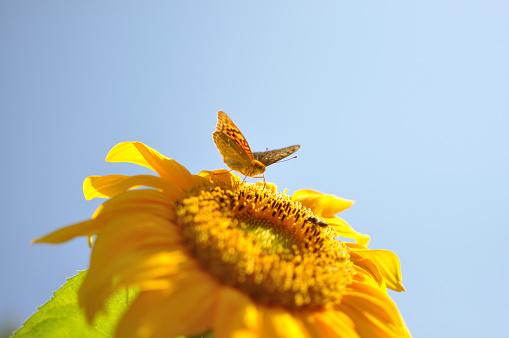 Beautiful butterfly in yellow sunflower