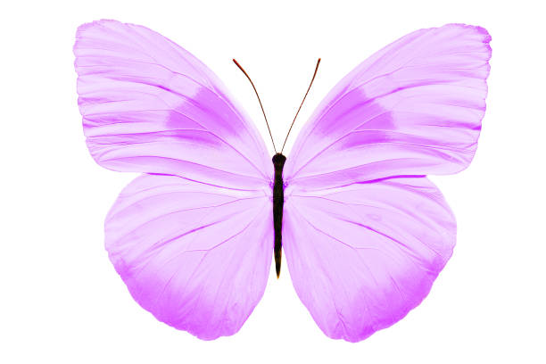 Beautiful butterfly isolated on white background picture id1026575954?b=1&k=6&m=1026575954&s=612x612&w=0&h=obgji9hxuniuk3hevr6d12zk2xhn7wp8qdcvurznihu=