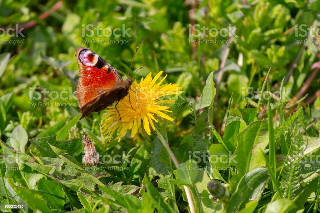 Beautiful butterfly on a dandelion in the park. Nature zbiór zdjęć royalty-free