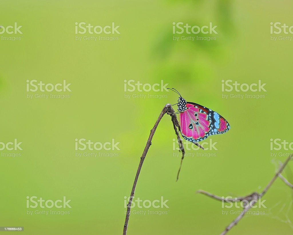 Beautiful butterfly on a dry twig royalty-free stock photo