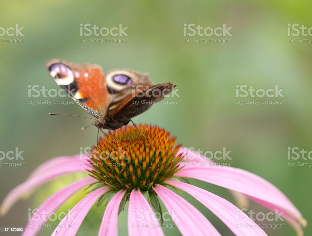 Beautiful butterfly on a flower in nature stock photo more beautiful butterfly on a flower in nature royalty free stock photo izmirmasajfo