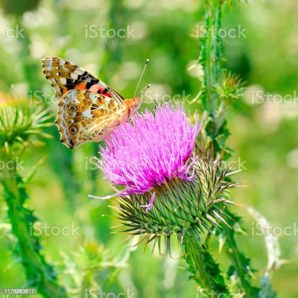 Beautiful butterfly on a pink milk thistle flower picture id1178383817?b=1&k=6&m=1178383817&s=612x612&h= mfgq4 lrahhsurn5wrpaepbh1jmz1af fwgrw qxz0=