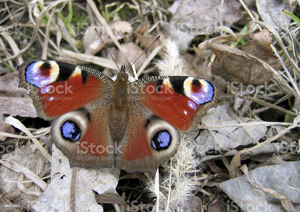 beautiful butterfly on dry foliage royalty-free stock photo