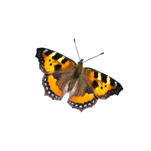 Beautiful butterfly on white background picture id664568214?b=1&k=6&m=664568214&s=612x612&w=0&h=y99og9xsuhl64qbmrsoxznaf1dvxfywziqd6djbavhc=