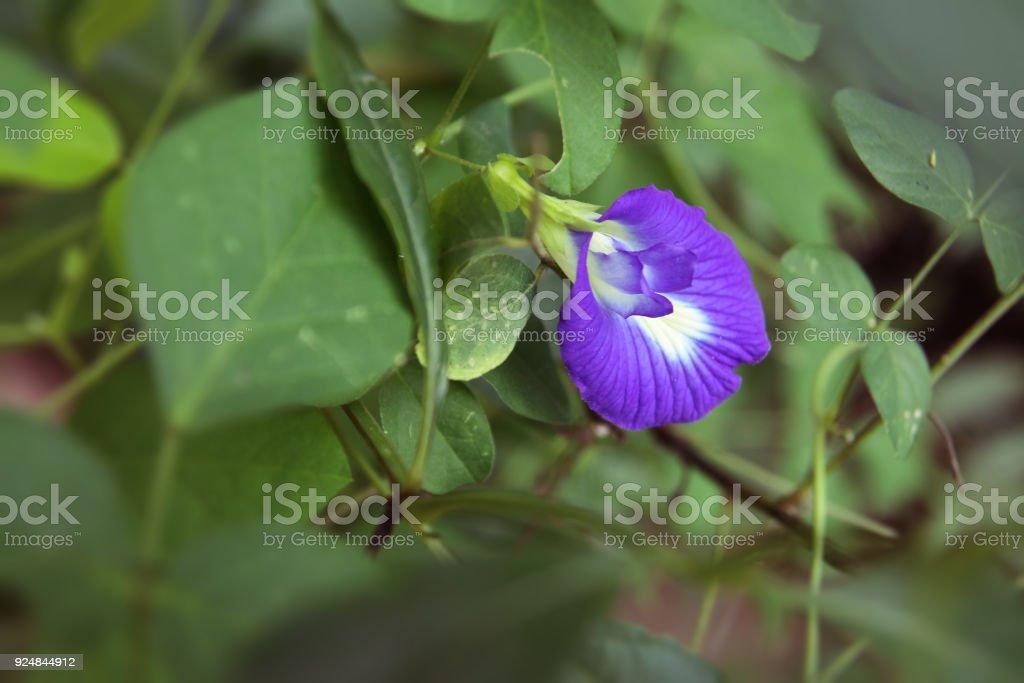 Beautiful Butterfly pea flower stock photo