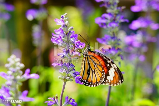 Butterfly - Insect, Lavender - Plant, Plant, Insect, One Animal