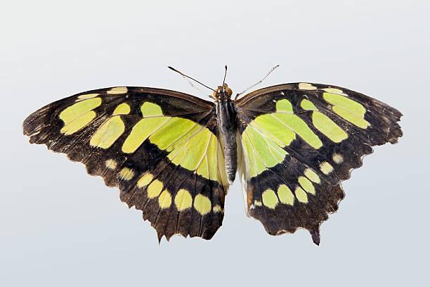Beautiful butterfly picture id176899680?b=1&k=6&m=176899680&s=612x612&w=0&h=j48w deae1lgcxb3sx0xwdnvryupi8kzilccxwjh6bo=