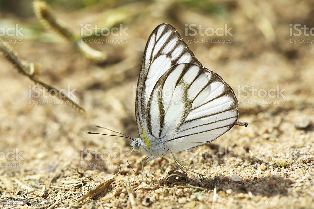 Beautiful butterfly royalty-free stock photo