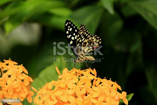 Butterfly - the colourful insect