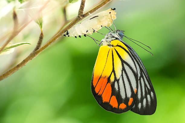 아름다운 나비 - 누에고치 뉴스 사진 이미지