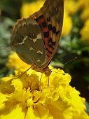 beautiful butterfly sits on a yellow flower and drinks nectar. macro photography