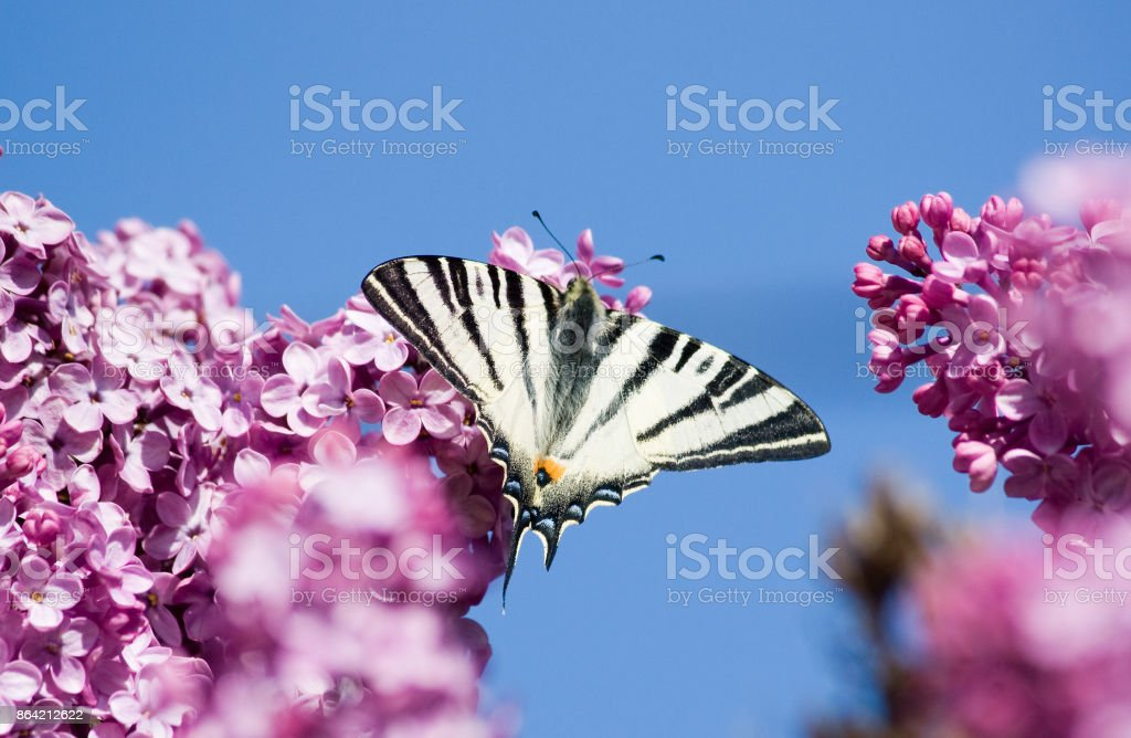 Beautiful butterfly sitting on a blossoming lilac against the sky royalty-free stock photo
