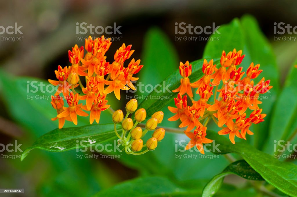 Beautiful Butterfly Weeding blooming. stock photo