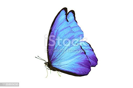 istock beautiful butterfly with blue wings and paws. isolated on white background 1135855035
