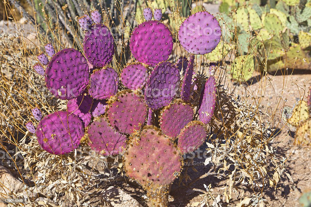 beautiful cacti in landscape royalty-free stock photo