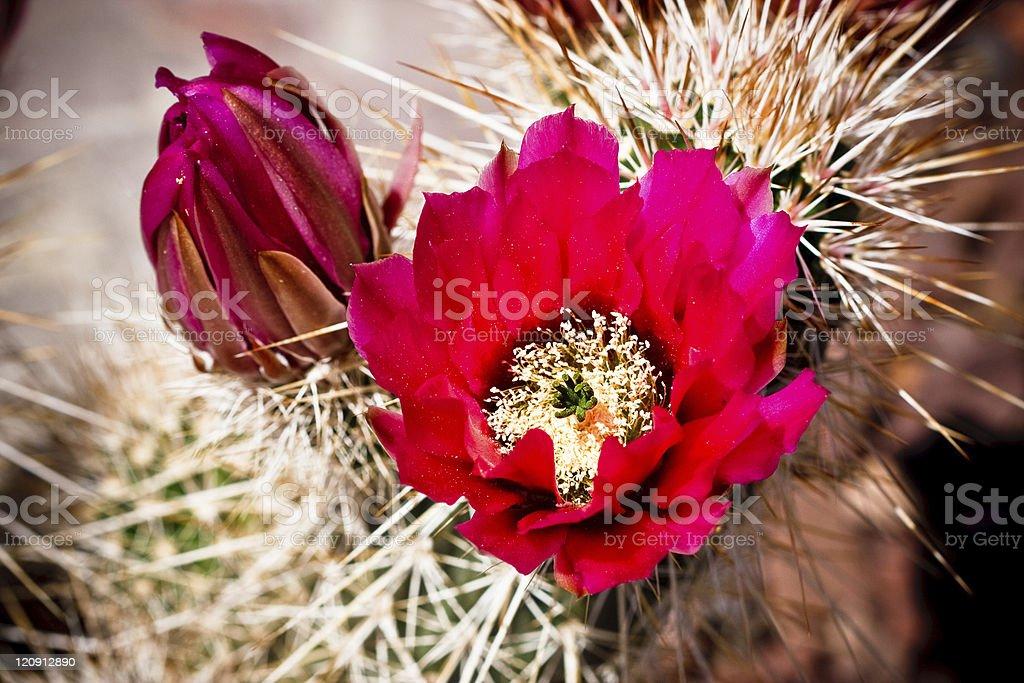 Beautiful cactus flower blossom royalty-free stock photo
