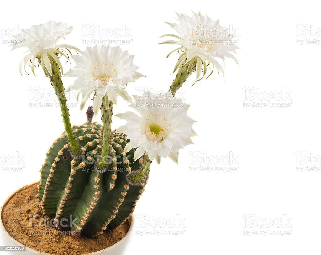 Beautiful cactus flower stock photo