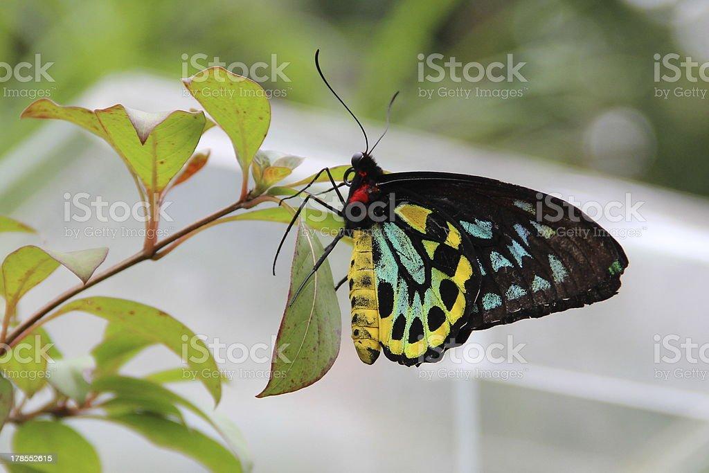 beautiful cairns birdwing butterfly stock photo