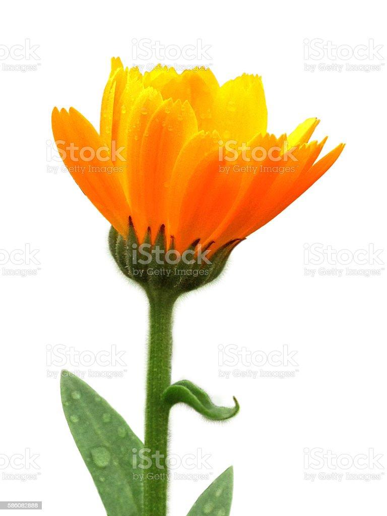 Beautiful Calendula Herb Flower Isolated With Raindrops Alternative