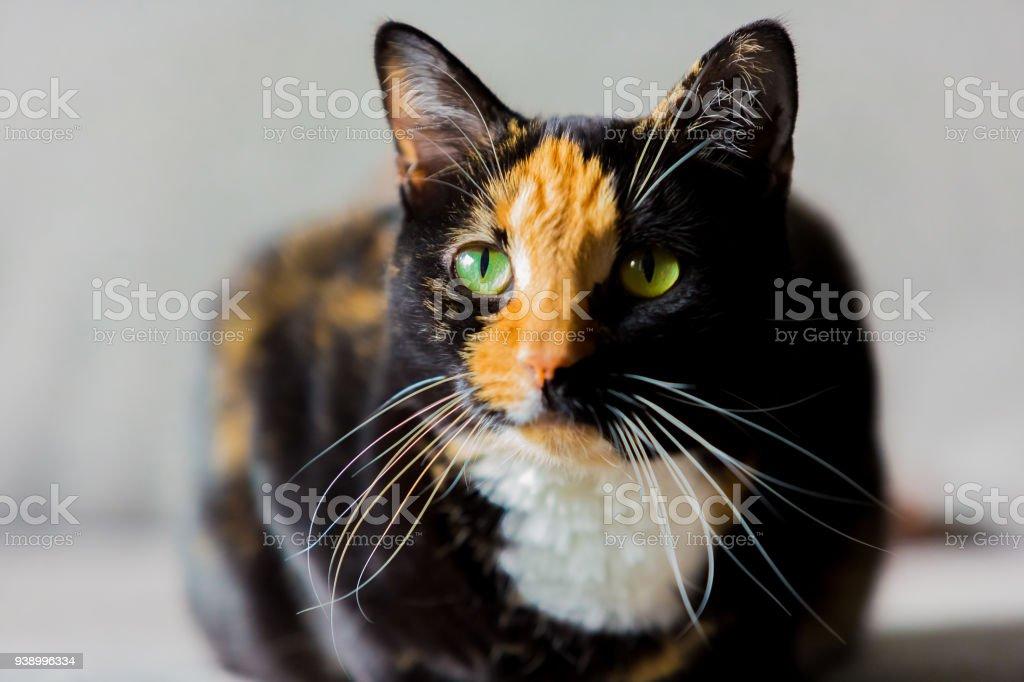 5fd02275661 Beautiful Calico Tortoiseshell Tabby Cat Stock Photo - Download ...