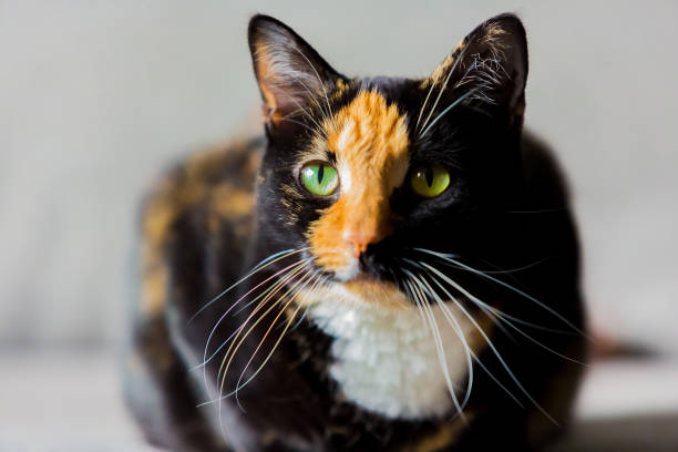 Beautiful calico tortoiseshell tabby cat green eyes of a black and ginger mix female cat looking intently at something tortoiseshell cat stock pictures, royalty-free photos & images