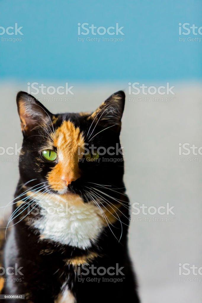 Beautiful calico tortoiseshell tabby cat stock photo